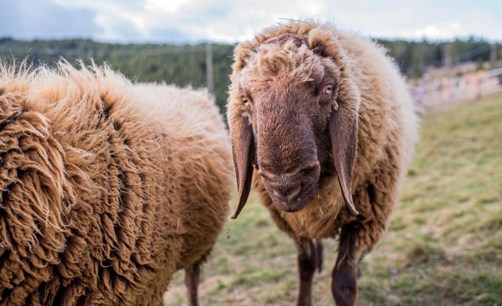 Malga per famiglie GAMPL: animali dello zoo alpino